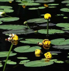 water-lilies11